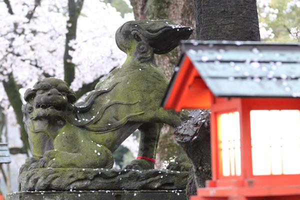 鷲宮の桜20160407-2