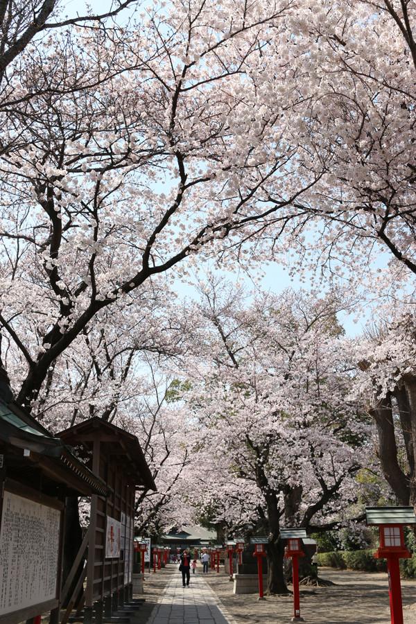 鷲宮神社の桜2015年 07