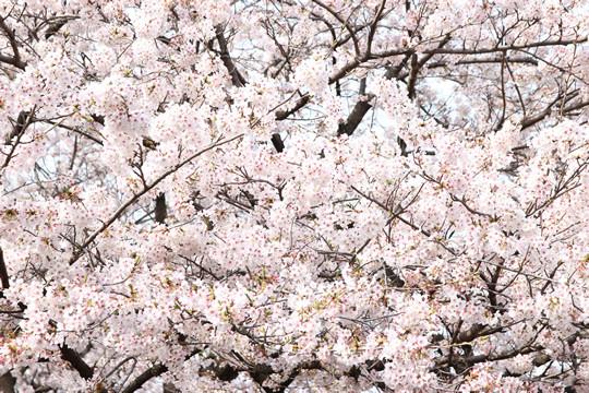 幸手権現堂の満開の桜 4月1日