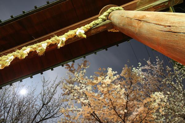 鷲宮神社の桜2015年 09