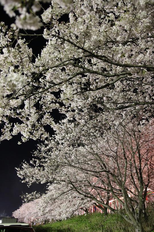 幸手権現堂の夜桜2014-08