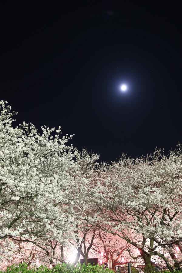幸手権現堂 夜桜20150331-6