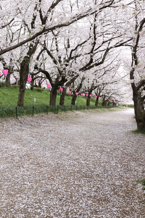 幸手権現堂 桜20150404-1