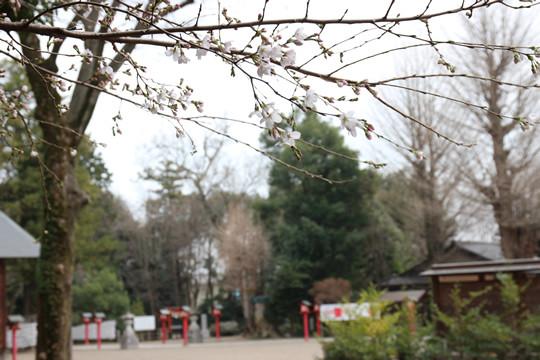 鷲宮神社の桜が開花 2013年春