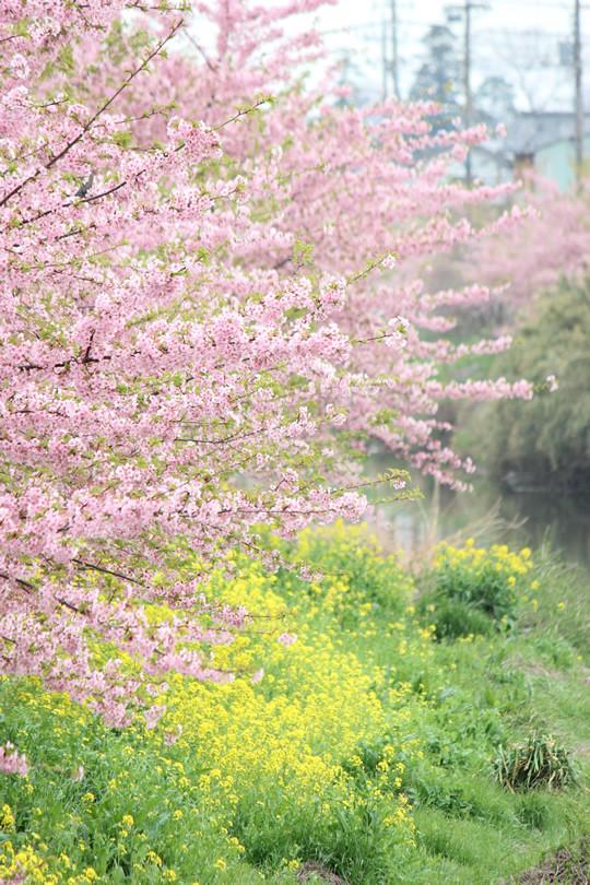 青毛堀川の河津桜と菜の花