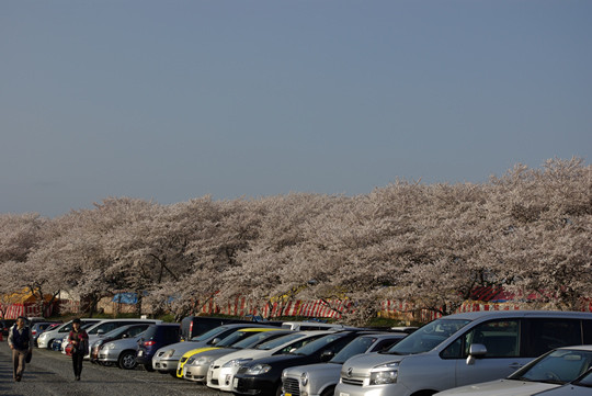 幸手権現堂第一駐車場からの桜