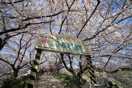 幸手権現堂の桜2014-07