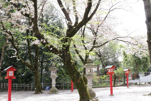 鷲宮の桜20160409-3