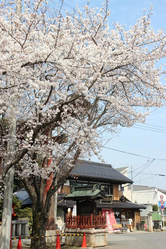 大酉茶屋と桜 2013年3月28日