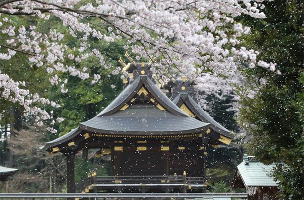 鷲宮の桜20160403-4