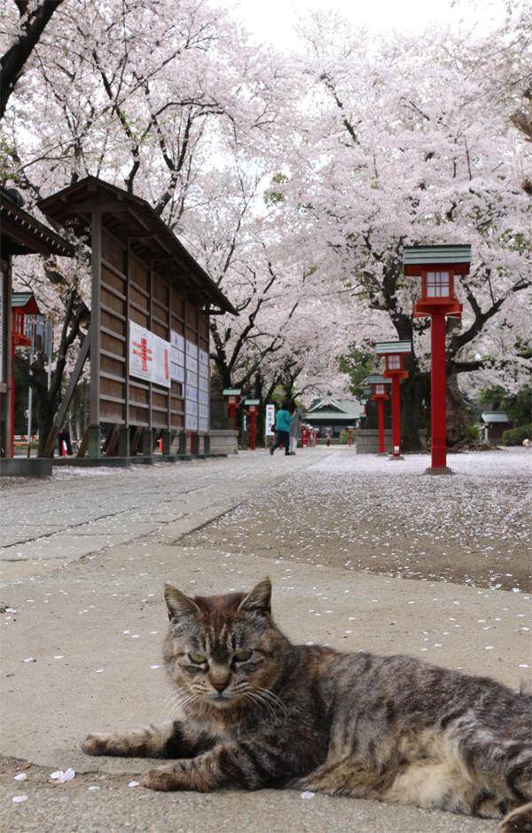 鷲宮神社の桜2015年 16