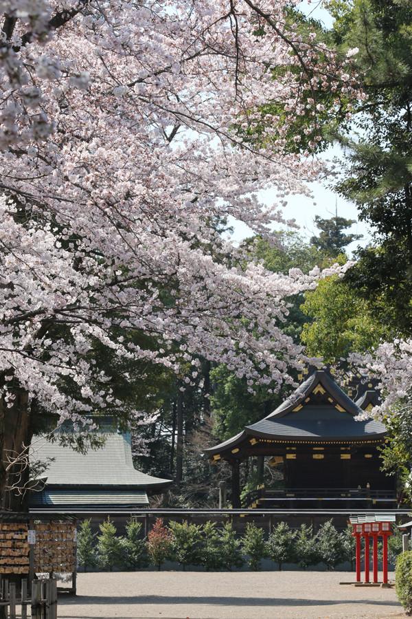 鷲宮神社の桜2015年 04