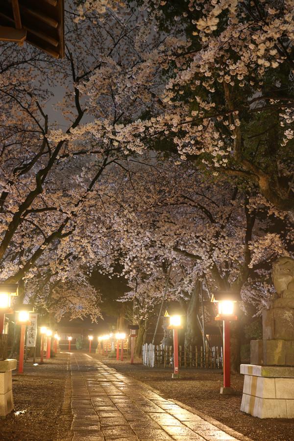 鷲宮神社の桜2015年 10