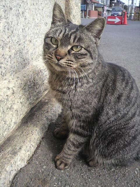 鷲宮神社によくいる猫「ばかにゃん]
