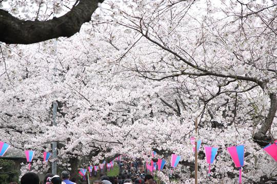 幸手権現堂の桜 3月31日