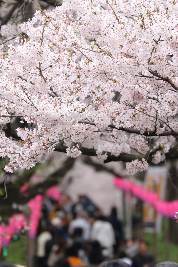 幸手権現堂 桜20150404-18