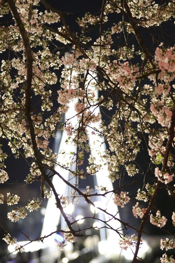 幸手権現堂 夜桜2