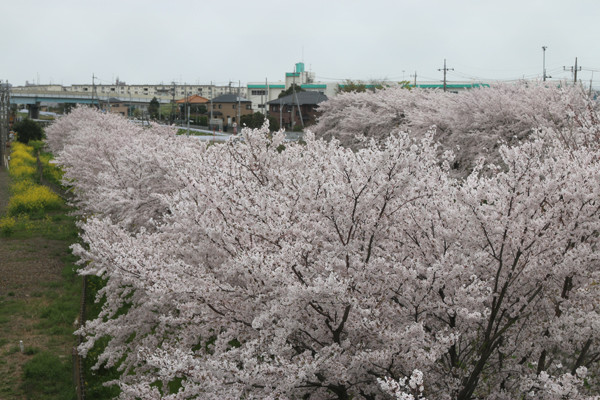 東武鷲宮駅前の桜2015年 02