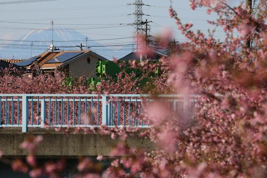 鷲宮青毛掘りの河津桜と日光男体山
