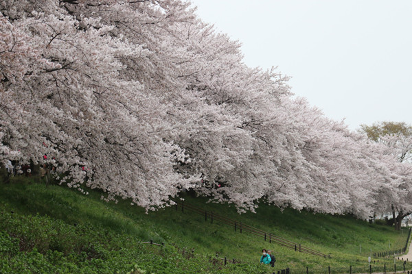 幸手権現堂 桜20150404-7