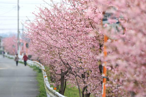 鷲宮の桜20160305-4