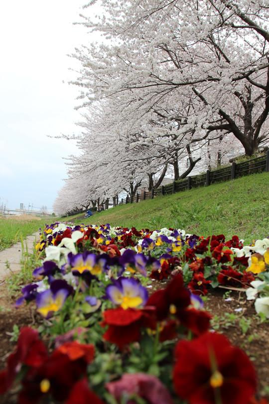 東武鷲宮駅西口のパンジーと桜 2013年4月1日
