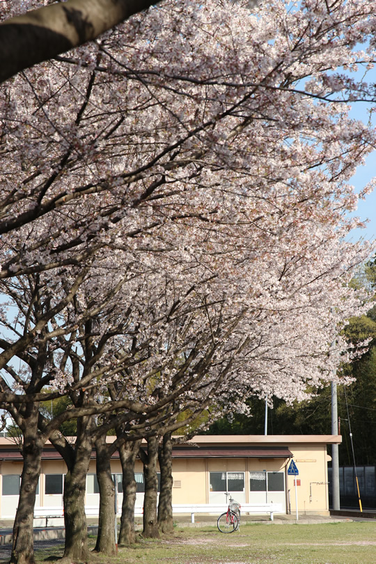 鷲宮コミュニティ広場の桜2 2013年4月4日