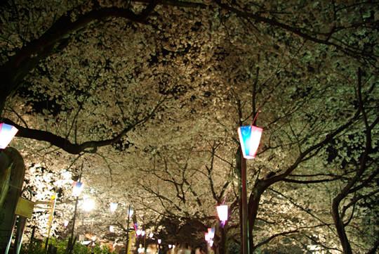 ライトアップの夜桜