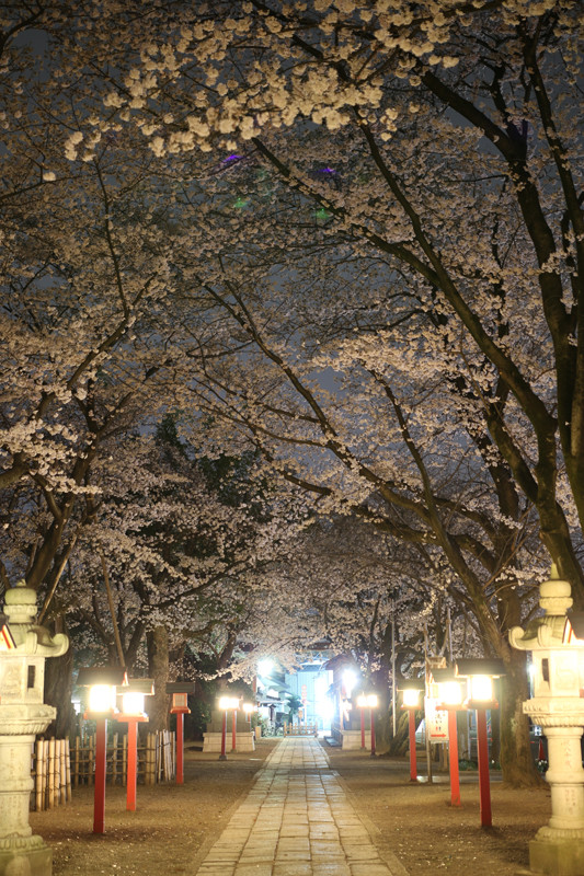 鷲宮神社の夜桜3-20140331