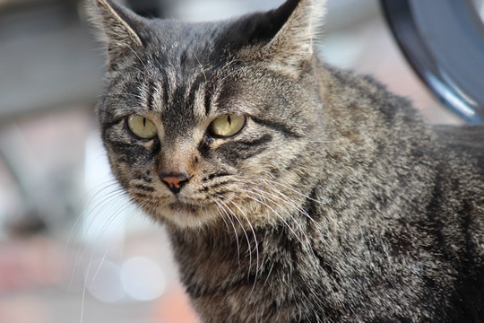 鷲宮神社によく来る猫2