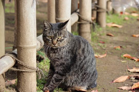 鷲宮神社によく来る猫1