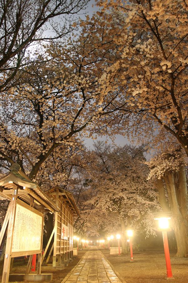 鷲宮神社の桜2015年 08