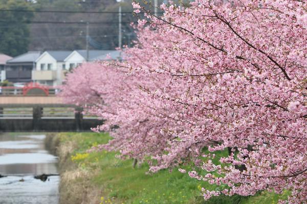 鷲宮の桜20160306-2