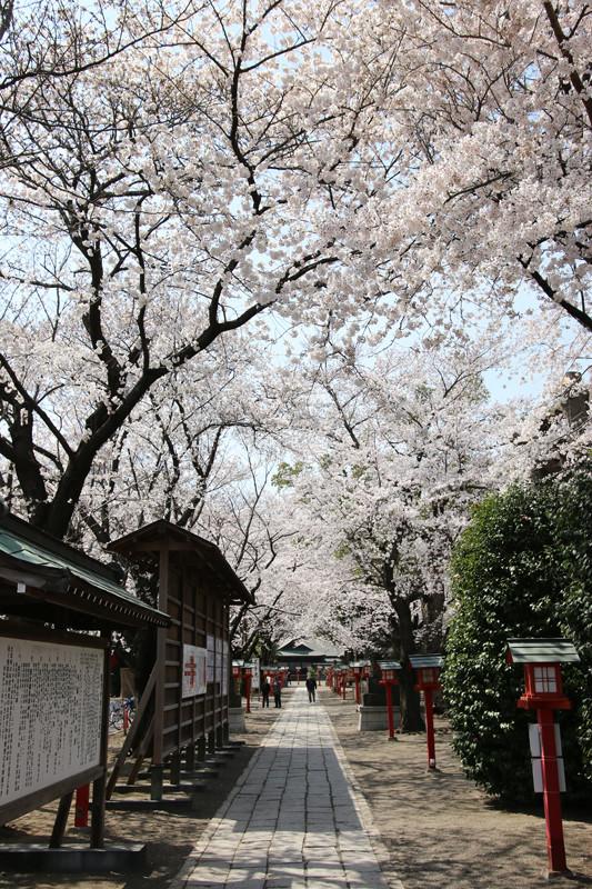 鷲宮神社境内の桜20140401
