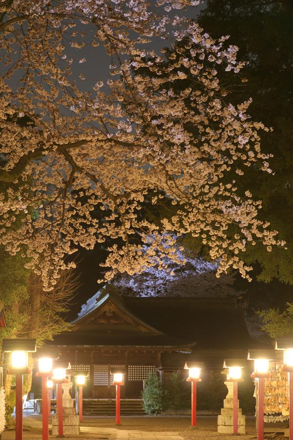 鷲宮の桜20160405-4