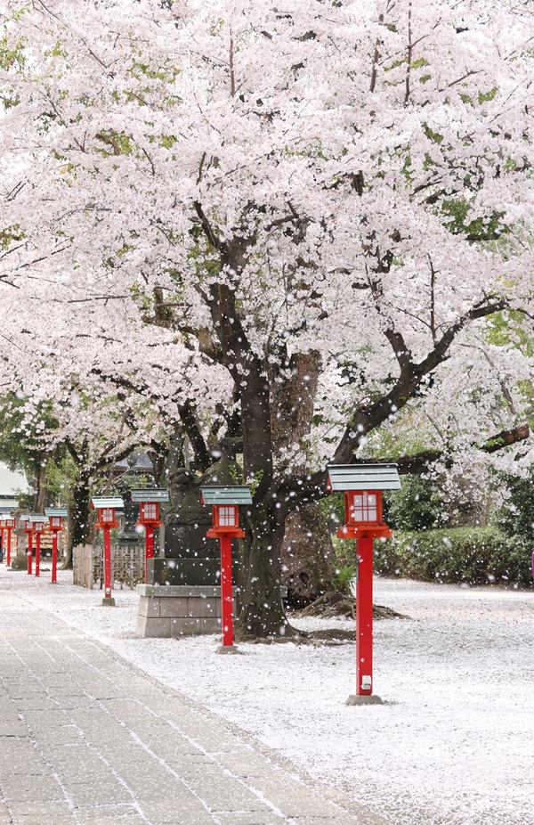 鷲宮神社の桜吹雪2015