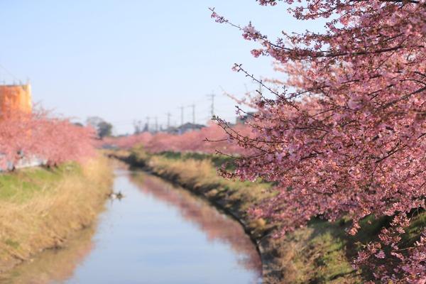 鷲宮の河津桜(久喜市鷲宮青毛堀川)平成31年3月9日-8