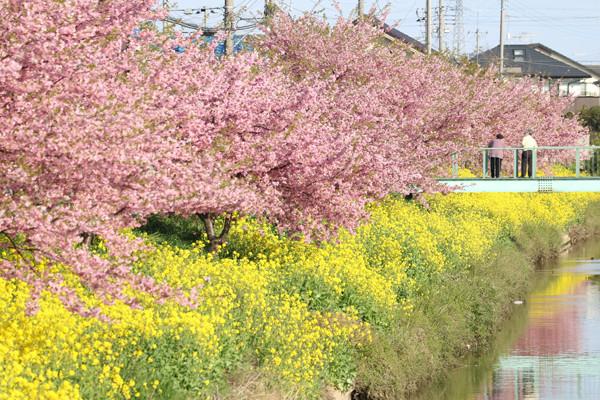 鷲宮 青毛掘川の河津桜2015-19