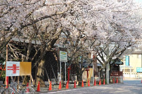 鷲宮神社の桜吹雪 2013年4月4日
