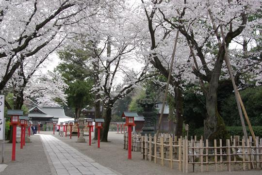 鷲宮神社境内の桜