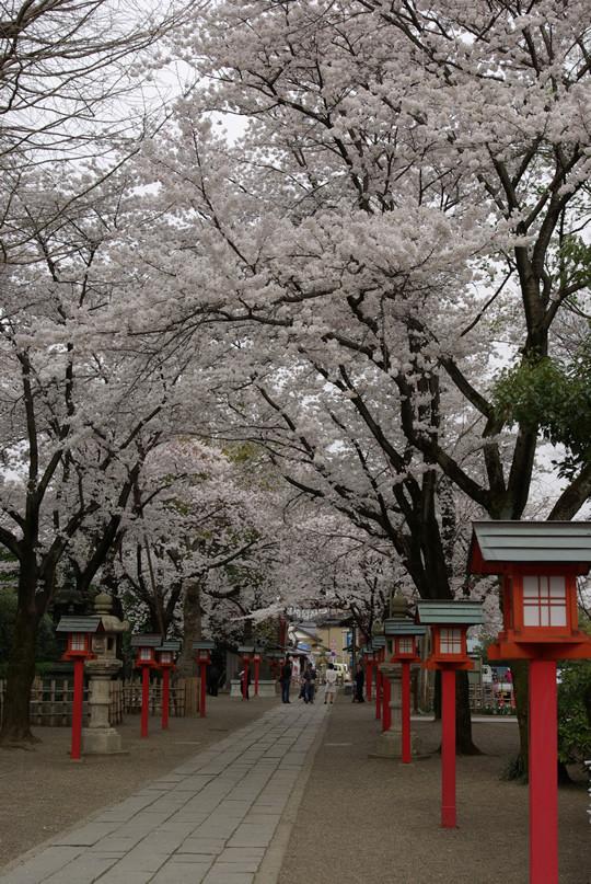 桜満開の鷲宮神社