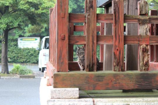鷲宮神社の猫