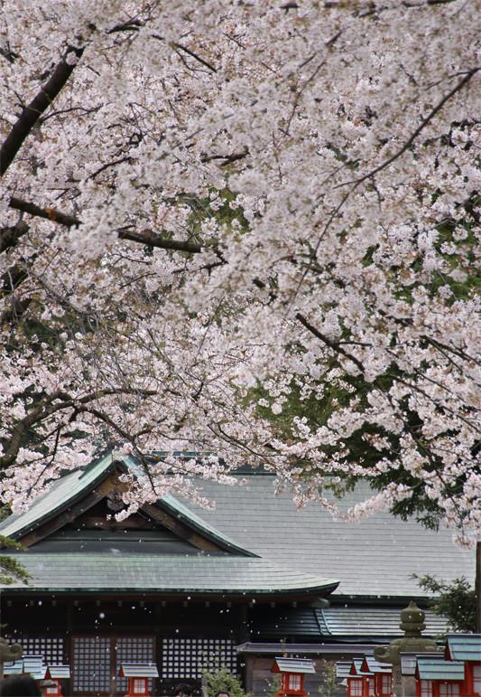 鷲宮神社境内の桜吹雪2-20140406