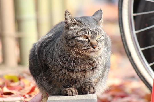 鷲宮神社によく来る猫3