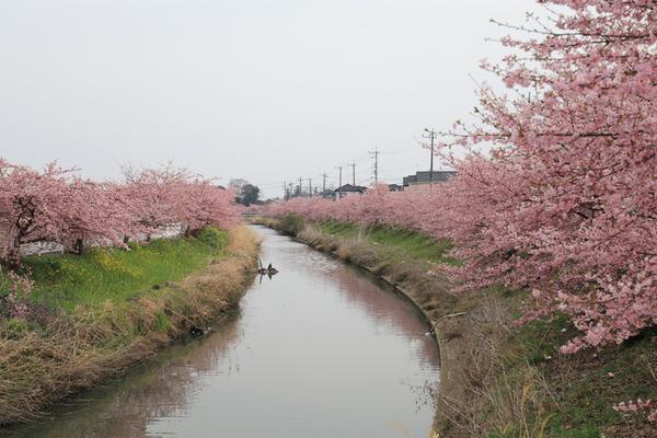鷲宮 河津桜2017-18