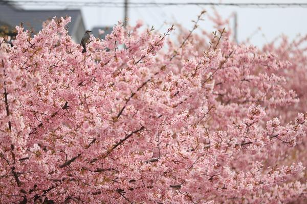 鷲宮の河津桜(久喜市鷲宮青毛堀川)平成31年3月16日-3-2