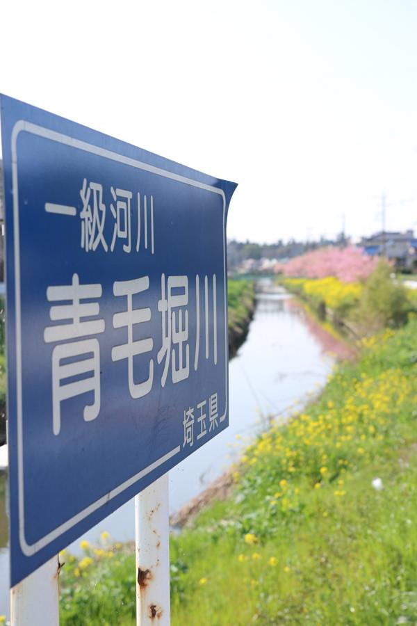 鷲宮 青毛掘川の河津桜2015-13