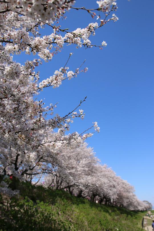 幸手権現堂の桜2014-02