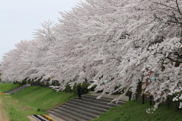 東武鷲宮駅前の桜2015年 04