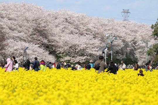 幸手権現堂の桜2014-06